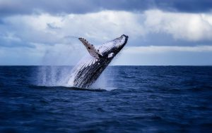 Whale Jumping Macleay Valley Coast